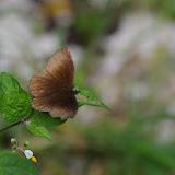 Panyapedaliodes drymaea drymaea (Hewitson, 1858). La Minga, Choachi, 2330 m (Cundinamarca, Colombie), 11 novembre 2015. Photo : J.-M. Gayman