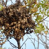 Gray Squirrel drey (nest)