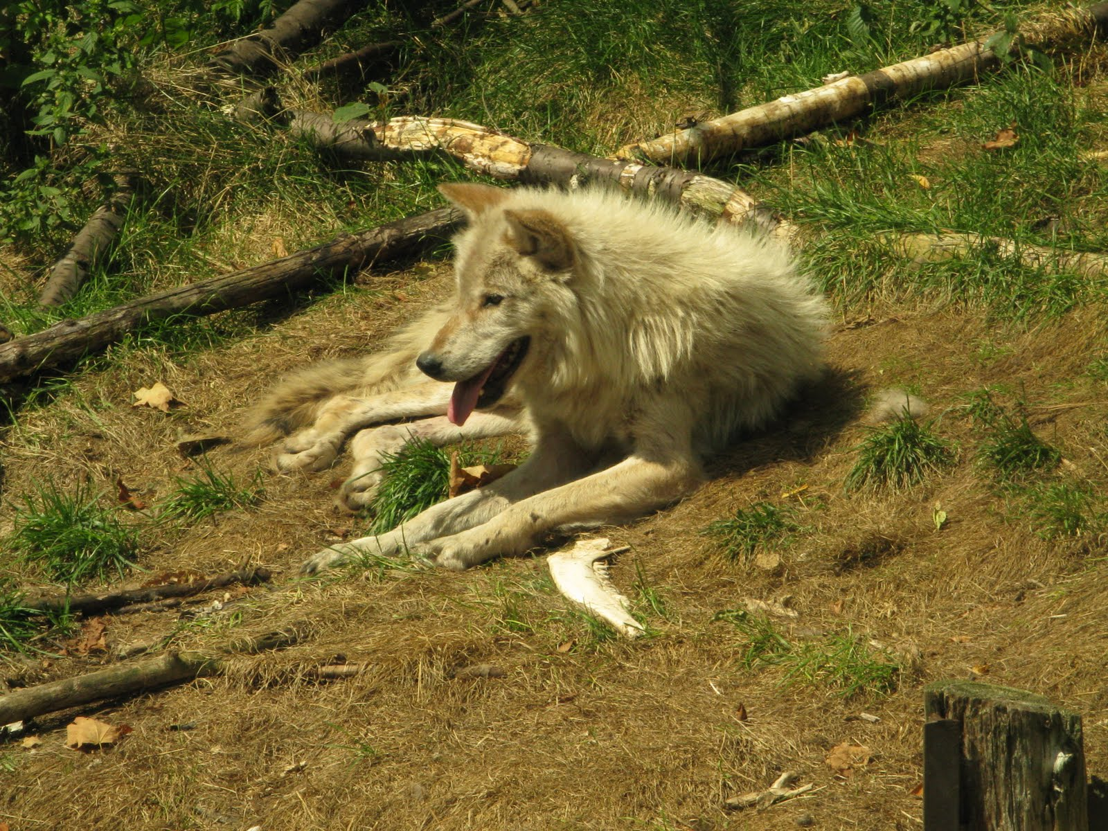 Wolf lying on back - photo#17
