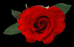 FLORES (ROSAS ROJAS) (53)