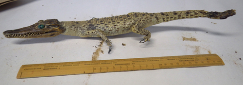 Crocodile for sale illegally in Devon