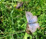 Sortplettet blåfugl6.jpg