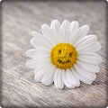 Beautiful Daisy Wallpaper HD APK
