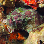 Frogfish with eggs!