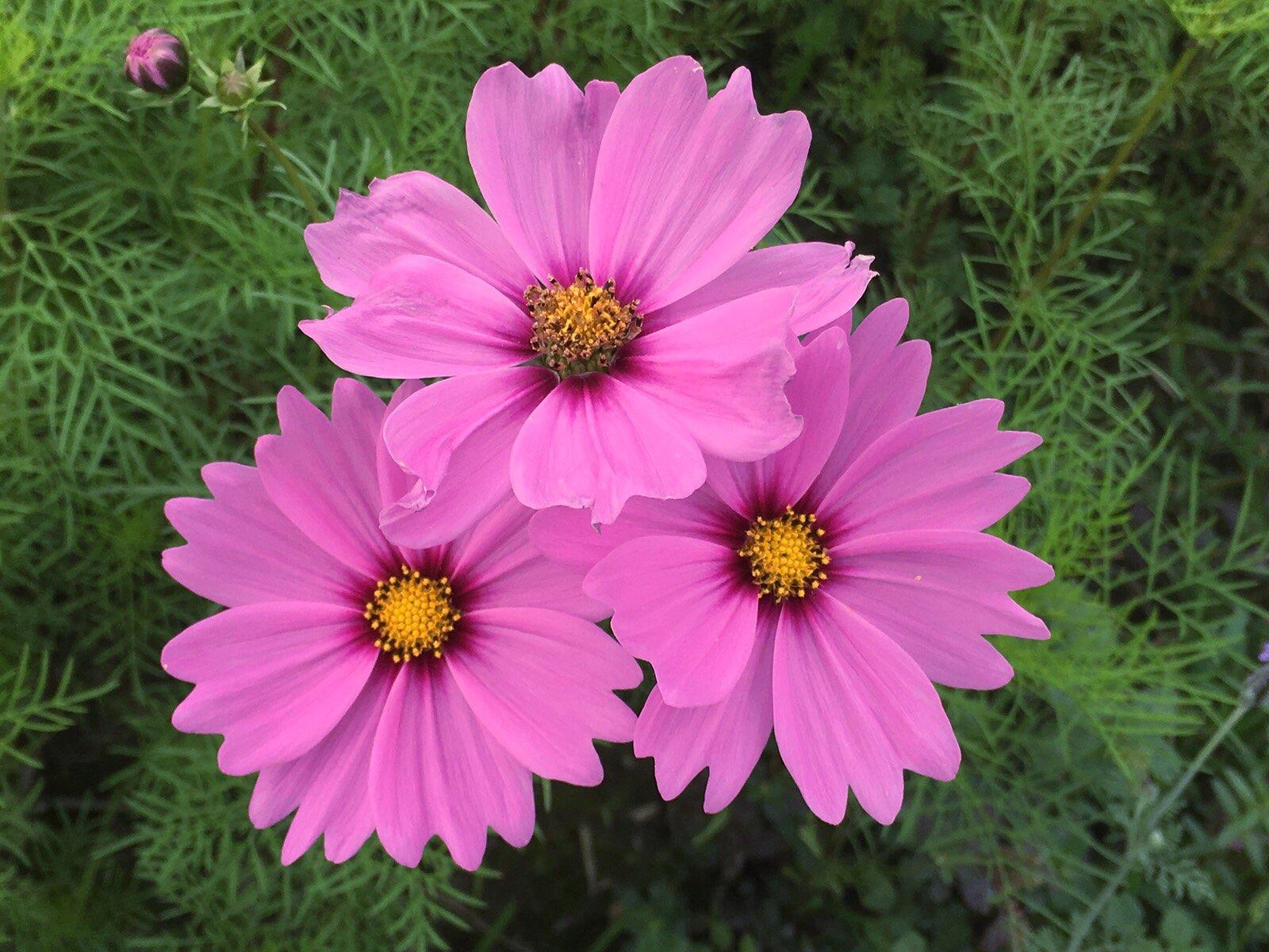 cosmos flowers blossom tongxin park huwei yunlin taiwan