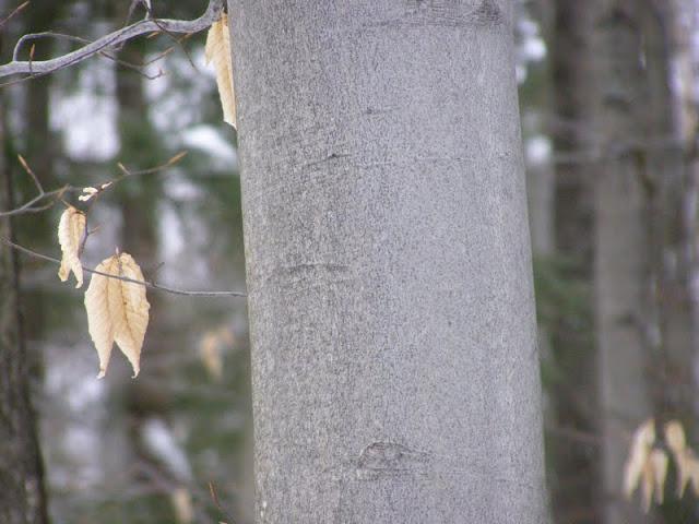 American Beech bark