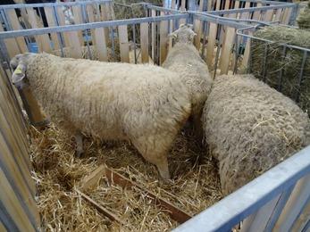 2018.02.25-012 moutons Boulonnais