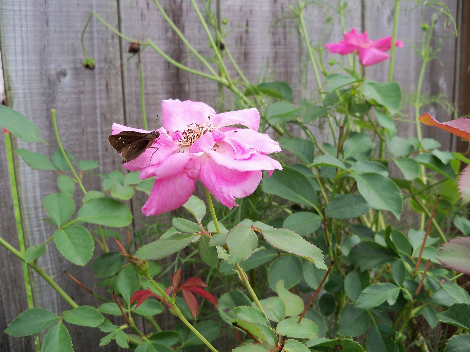 Gardening 2010, Part Three - 101_5288.JPG