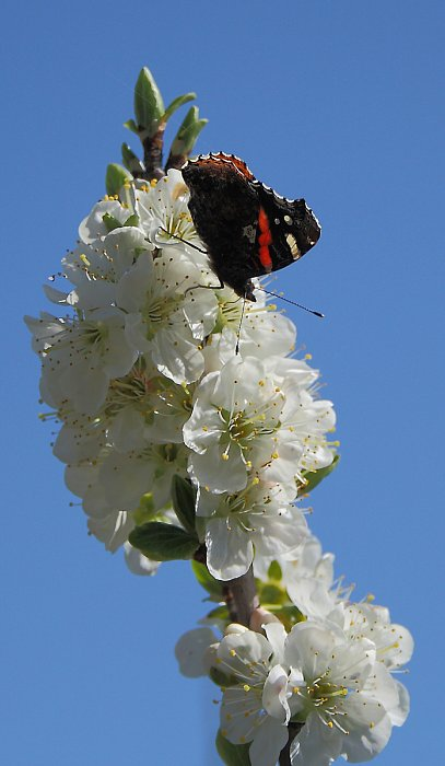 Butterfly on apple tree blossom