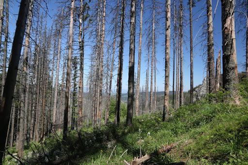 Suchých častí lesa je tam asi toľko ako na Slovensku, ale všade pekne rastie omladina.