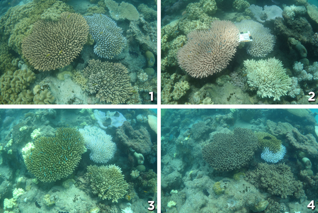 Photo (1), taken in Dec. 2015 shows healthy coral near Lizard Island. The coral in photo (2) from March is bleached. In April 2016, as shown in photo (3), algae begin to grow on the coral. Finally, in photo (4) from May 2016, you can see heavy algal overgrowth. Photo: CoralWatch