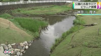 神奈川県厚木市の公園の水路でピラニア 立ち入り禁止で捜索