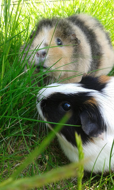 family pets bonded female guinea pigs