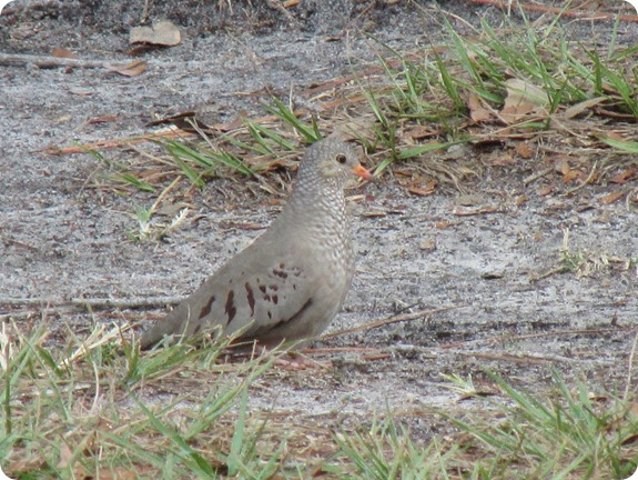 8 Common Ground Dove Columbia passerina