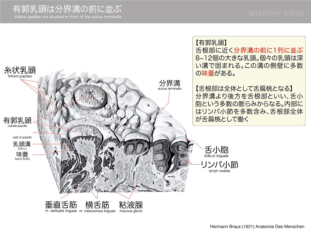 vallate-papillae-are-situated-in-front-of-the-sulcus-terminalis.jpg