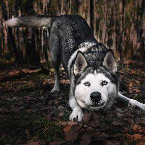 Zoja by Grzegorz Wagner - Animals - Dogs Portraits ( oczy, forest, pretty, pi?kno, beauty, czerwony kapturek, tree, girl, portrait, cute, eyes, eye, leszno, beautiful, face, hair, red riding hood, bajka, drzewo, model, modelka, las )