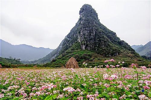 Hoa tam giac mach tai cac dia diem o ha giang7 Hoa tam giác mạch tại một số nơi ở Hà Giang