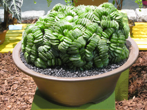 Incredible succulent