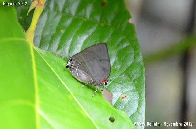 Panthiades bitias (CRAMER, 1777), mâle. Saül, novembre 2012. Photo : Michel Belloin