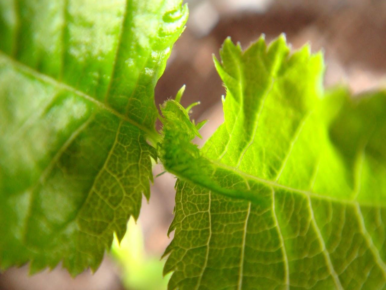 Prunus Serrulata Kanzan - Página 4 DSC02114