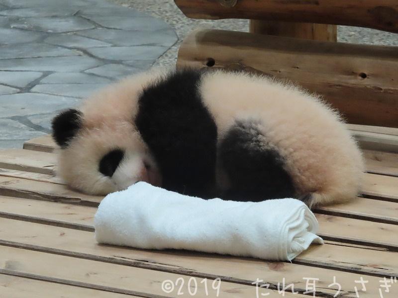 パンダの赤ちゃんの彩浜が可愛くて白浜アドベンチャーワールドに行ってきたのでレビュー ナイトズーがおすすめ