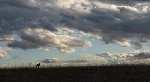 DP-20130330-183614-17 Coyote
