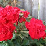 Gardening 2012 - IMG_2907.JPG