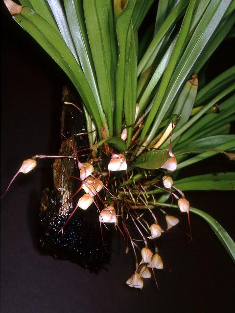 Растения из Тюмени. Краткий обзор - Страница 3 Dracula_venosa_O