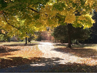 Yellow and green fall color trees along a dirt driveway with brown fallen leaves