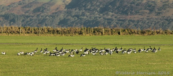 3-Pale-bellied-Brent-Geese