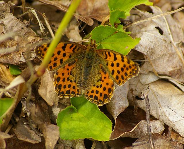 Issoria lathonia L., 1758, femelle. Les Hautes-Lisières (Rouvres, 28), 21 juin 2011. Photo : J.-M. Gayman