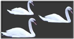 cisnes-buscoimagenes-1_thumb