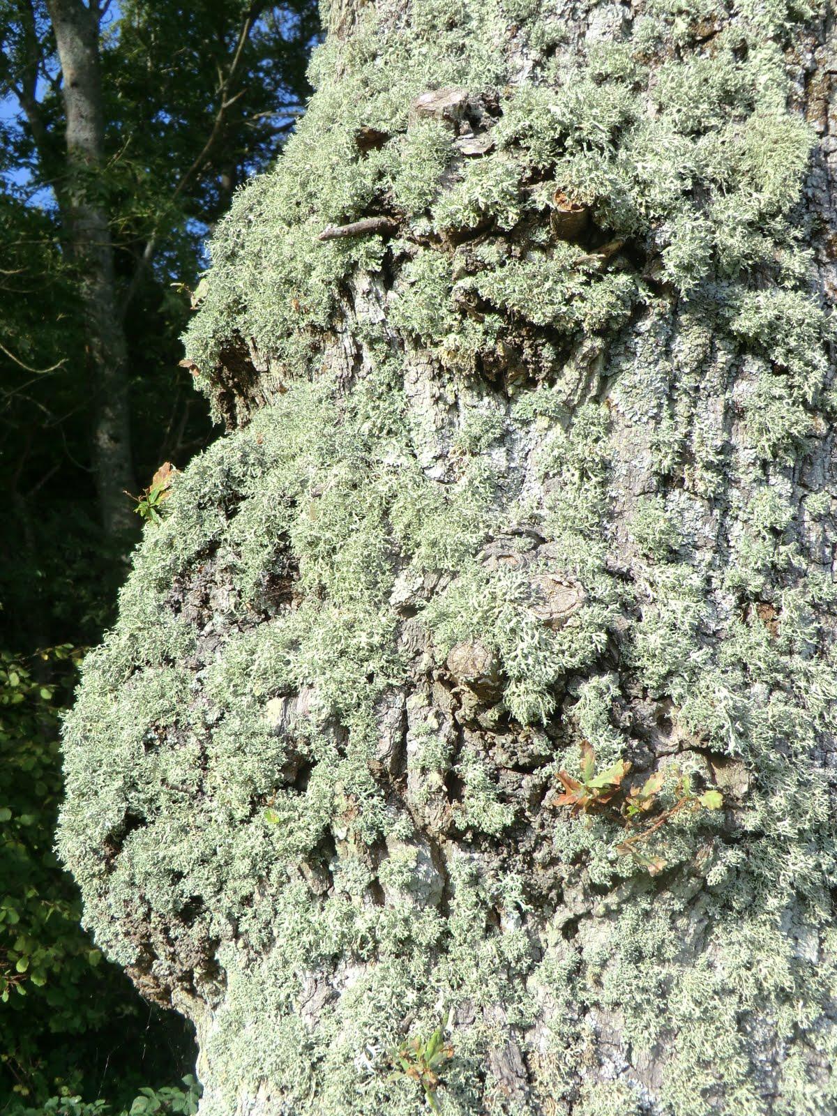 CIMG8794 Lichen, Paupersdale Wood