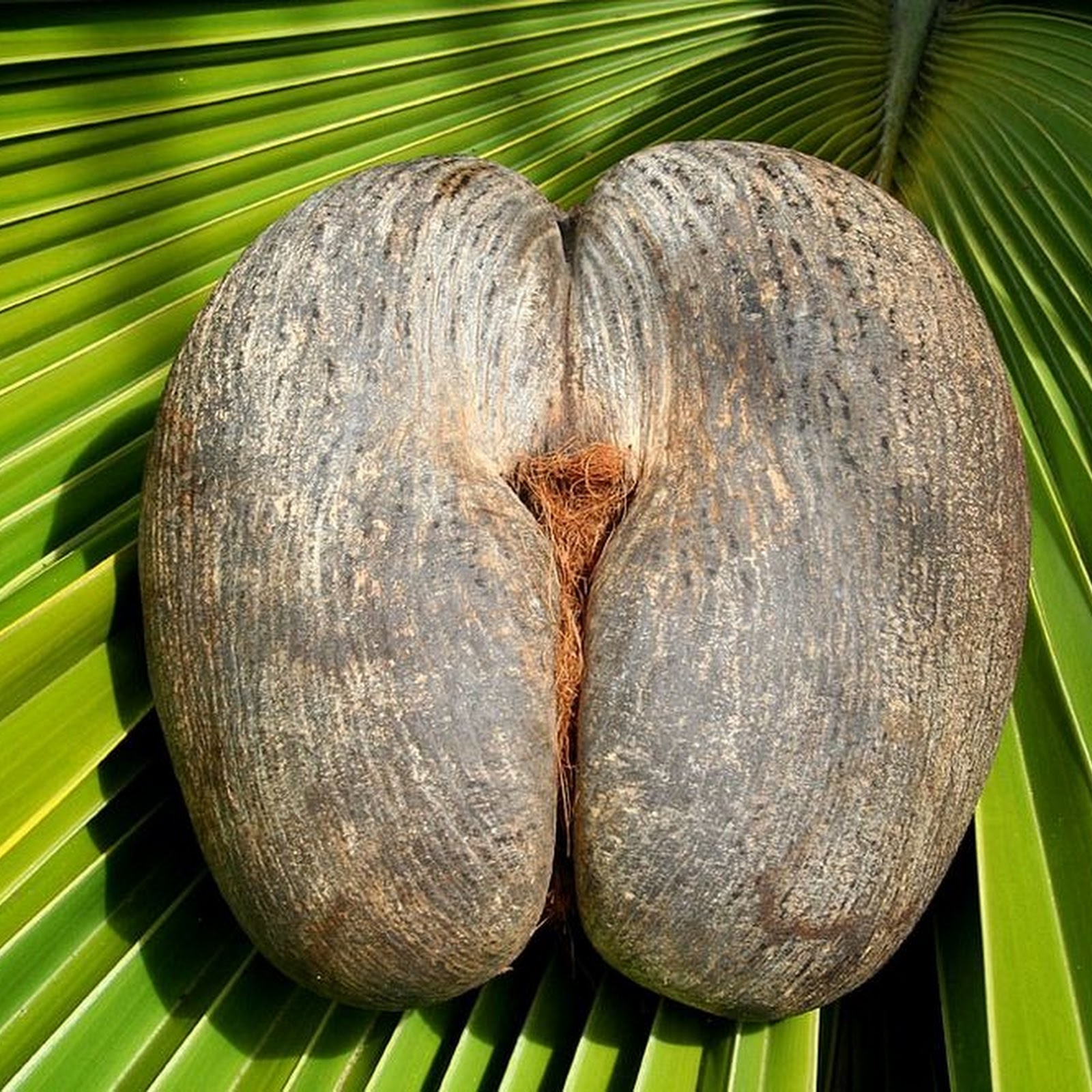 Coco de mer: The Forbidden Fruit