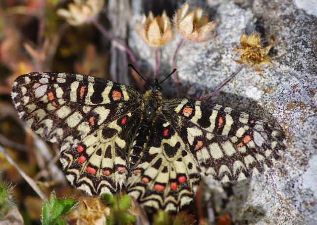 Zerynthia rumina (L., 1758), mâle. Plateau de Coupon (511 m), Viens (Vaucluse), 12 mai 2014. Photo : J.-M. Gayman