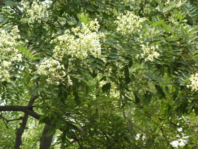 Mais quel est cet arbre? dont les fleurs tombent comme neige
