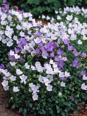 Hoa chuông tím 1