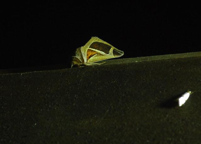 Erebidae, Erebinae : Calyptis iter Guenée, 1852. Fundo Palmarito, 265 m (Yopal, Casanare, Colombie), 7 novembre 2015. Photo : J.-M. Gayman