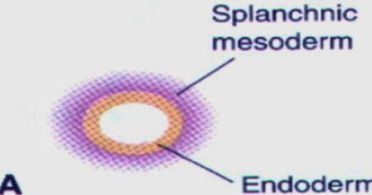 呼吸道發育(Respiratory tract development) - 小小整理網站 Smallcollation