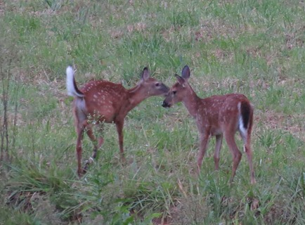 Deer and fawn on golf cart ride rivers edge
