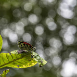 Diaethria clymena colombiana (Viette, 1958). Cupiagua, 720 m (Casanare, Colombie), 5 novembre 2015. Photo : B. Lalanne-Cassou