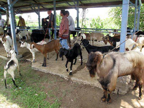 Pedagang kambing qurban bekasi bersaing dengan pedagang musiman