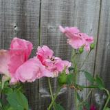 Gardening 2010, Part Three - 101_3561.JPG
