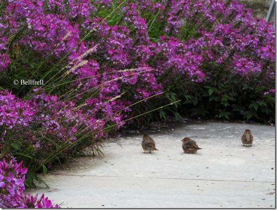 3 Spatzen im Blumenhain