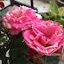 Perkembangan Mini Garden Cik Rose | Manfaatkan Ruang Koridor di Rumah Anda