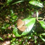 Saribia tepahi BOISDUVAL, 1833. Parc de Mantadia (Madagascar), 27 décembre 2013. Photo : J. Marquet