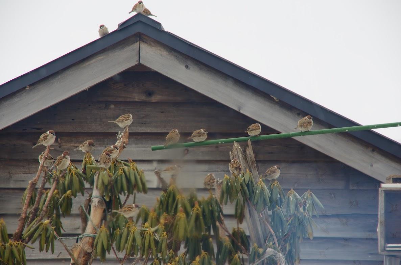 川島勝美さんのお庭の雀達