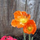 Gardening 2011 - 100_7420.JPG