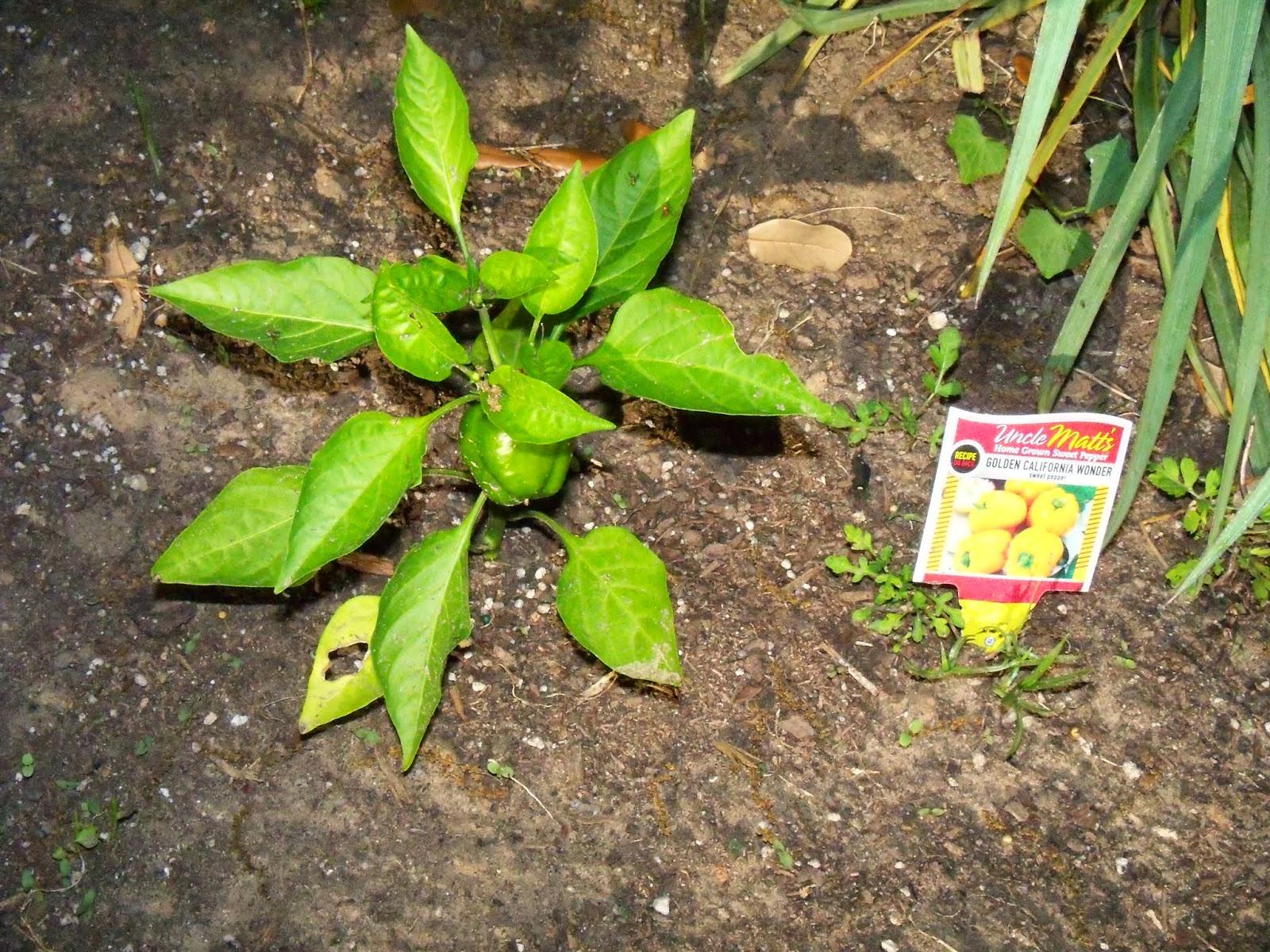 Gardening 2015 - 116_7679.JPG
