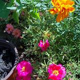 Gardening 2010, Part Three - 101_4389.JPG